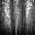 Florida Tall Pines by Carolyn Marshall