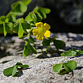 Flower And Dancing Clover by LeeAnn McLaneGoetz McLaneGoetzStudioLLCcom