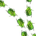Flower Chafer Beetles by Gombert, Sigrid