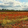 Flower Field by Jutta Maria Pusl