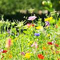 Flower Meadow by Susan Wall