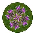Flower Of Scotland by Lynn Bolt
