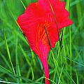 Flower Petal And Grass- St Lucia by Chester Williams