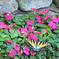 Butterfly And Flowers  by Sandra Reeves