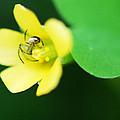 Flower Spider by Joe Emiola