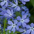 Flower Wild Blue Phlox 1 B by John Brueske