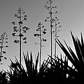 Flowering Agaves by David Lee Thompson