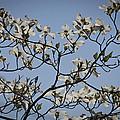 Flowering Dogwood by Teresa Mucha