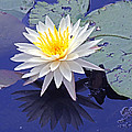 Flowering Lily-pad- St Marks Fl by Marilyn Holkham
