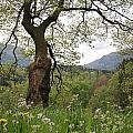 Flowering Maple Tree  by Ulrich Kunst And Bettina Scheidulin