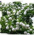 Flowering Snowball Shrub by Will Borden
