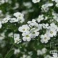 Flowering Spurge by Susan Herber
