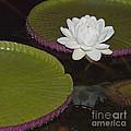 Victoria Amazonica White Flower by Heiko Koehrer-Wagner