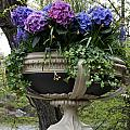 Flowerpot With Hydrangea by Christiane Schulze Art And Photography