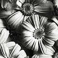 Flowers In Sepia Tone by Sumit Mehndiratta