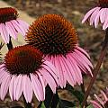 Coneflowers by Megan Cohen