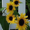 Flowers On A Fence by Grace Grogan