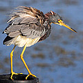 Fluffy Tri Colored Heron by Ira Runyan