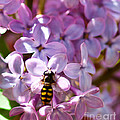 Fly In The Lilacs by Mitch Shindelbower
