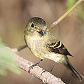 Flycatcher On A Branch by Roena King