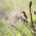 Flycatcher On A Twig by Roena King