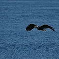 Flying Eagle by Bruce Wilbur