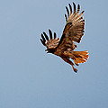 Flying Red Tail 204-2 by Diana Grant