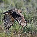 Flying Redtail Hawk  by Eric  Nelson