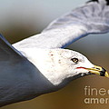Flying Seagull Closeup by Wingsdomain Art and Photography