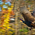 Flying Wild Turkey Escapes Thanksgiving by Jiayin Ma