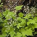 Foamflower (tiarella Trifoliata) by Bob Gibbons