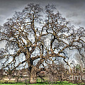Folsom Oak Tree by Diego Re