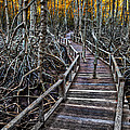 Footpath In Mangrove Forest by Adrian Evans