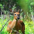 Forest Buck by Lynn Bauer