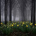 Forest Daffodils by Andy Linden