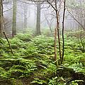 Forest Ferns On A Foggy Morning by Bill Swindaman