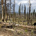 Forest Fire Aftermath by Bob Gibbons