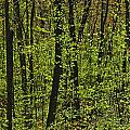 Forest In Spring Foliage, Six Mile Lake by Mike Grandmailson