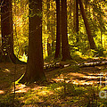 Forest Light by Lutz Baar