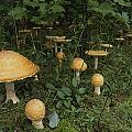 Forest Mushrooms Sprout by Michael S. Lewis