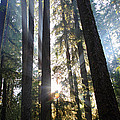 Forest Sun Rays In Olympic National Park by Pierre Leclerc Photography