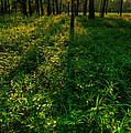 Forest Sunset by Steve Gadomski