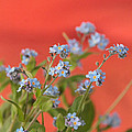 Forget Me Nots by Henry  Hemming