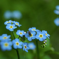 Forget-me-nots In Treman State Park, Ny by Tim Laman