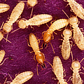 Formosan Termites by Science Source