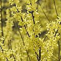 Forsythia In Full Bloom by Darlyne A. Murawski