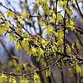 Forsythia 'minigold' Flowers by Adrian Thomas