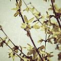 Forsythia  by Traci Cottingham