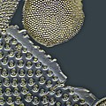 Fossil Diatoms, Light Micrograph by Frank Fox