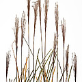 Fountain Grass In White by Steve Gadomski